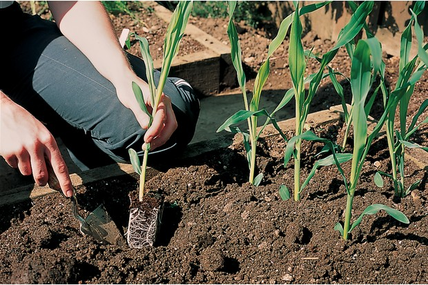 Planting out sweetcorn