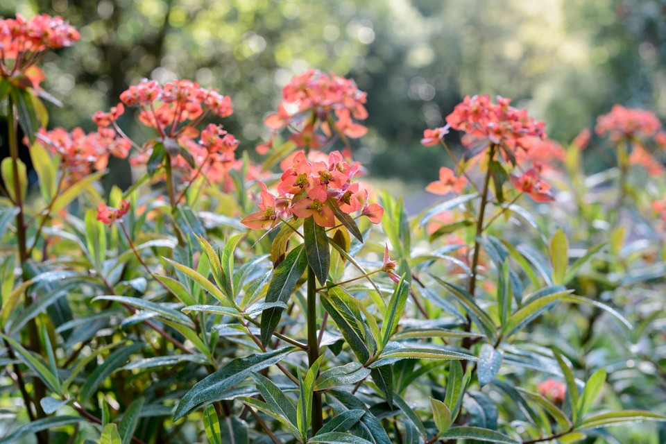 10 Euphorbias To Grow Bbc Gardeners World Magazine