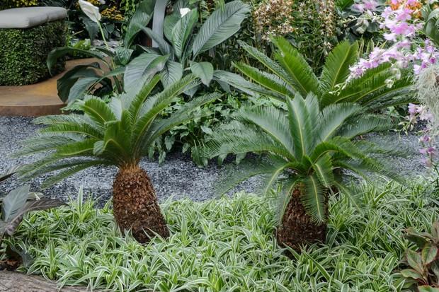 Sago palms growing outdoors