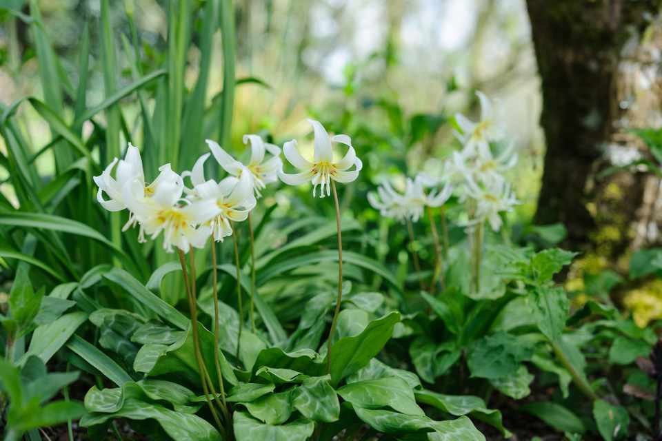 Yellow-centered, white dog's tooth lilies beneath a tree