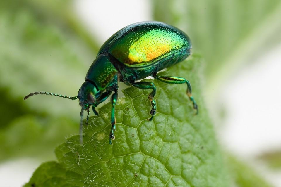 Problem Solving Mint Leaf Beetle Bbc Gardeners World Magazine