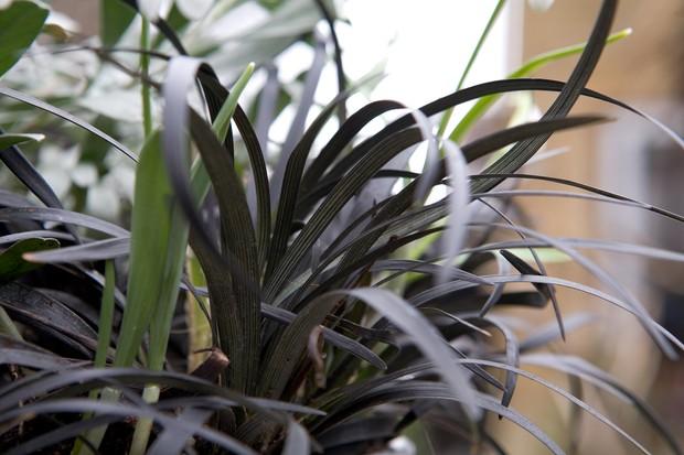 ophiopogon-planiscapus-nigrescens-3