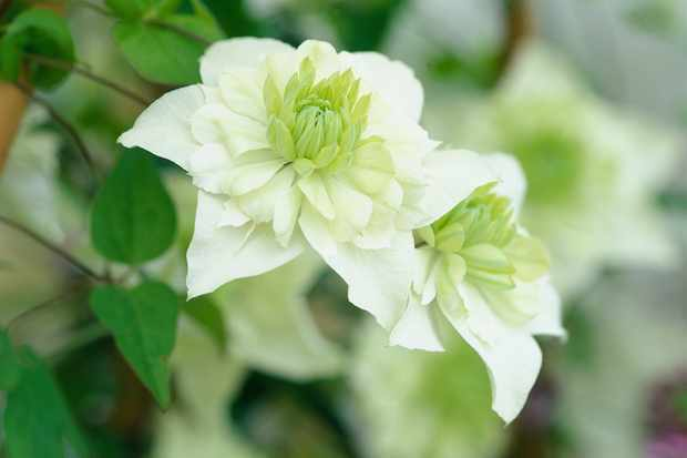 White and green clematis flowers