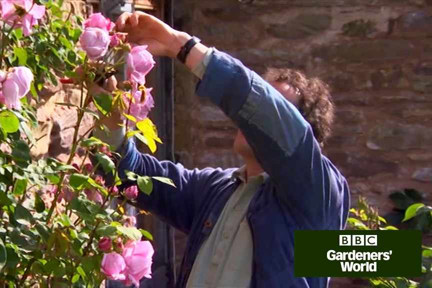 How to deadhead roses and prune species roses