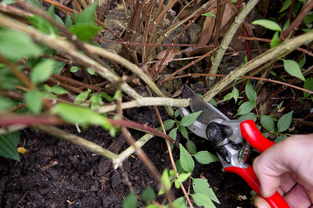 pruning-philadelphus-2