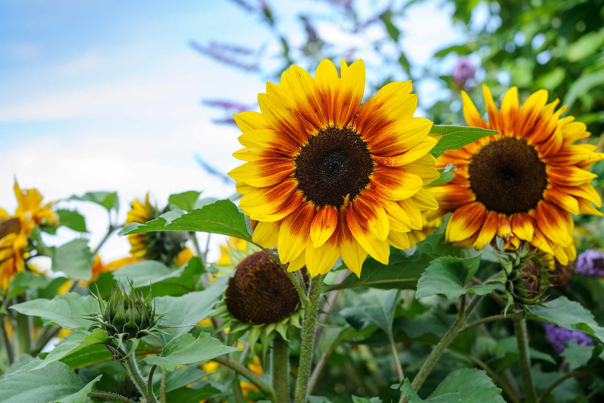 Sunflowers from seed
