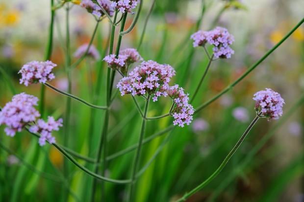 Tall, light-purple flowers of <em>Verbena bonariensis</em>