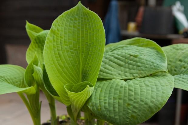 Stunning broad leaves of <em>Hosta sieboldiana</em> var. <em>elegans</em>