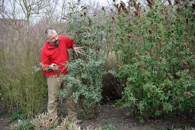 pruning-buddleja-3