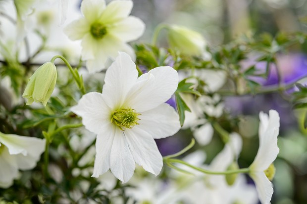 White blooms of Clematis x cartmanii 'Early Sensation'