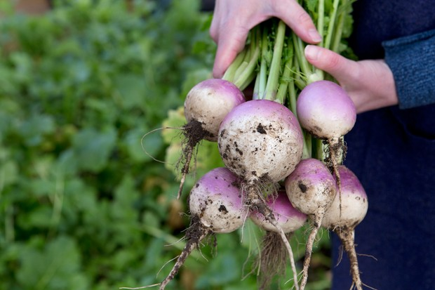 A bunch of freshly-picked turnips