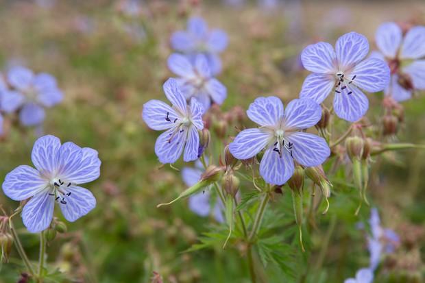 lilac-hardy-geraniums-2