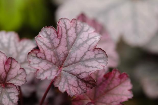 heuchera-foliage-3