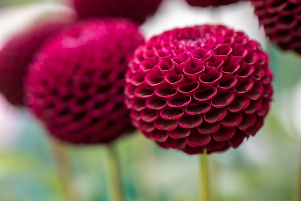 Magenta, spherical blooms of the pompon dahlia 'Moor Place', with inwards curled petals