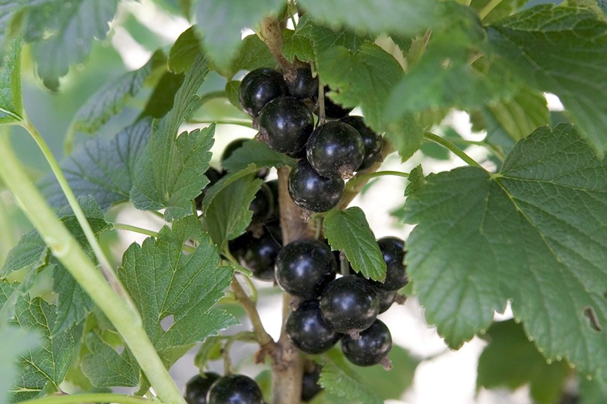 Why will my blackcurrant not flower or fruit