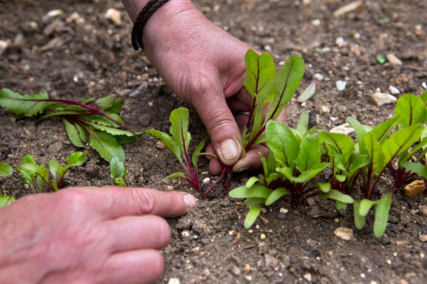 Thinning beetroot seedlings