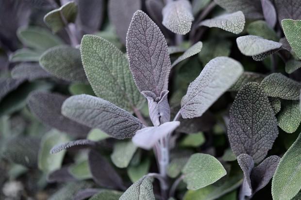 salvia-officinalis-purpurascens-3