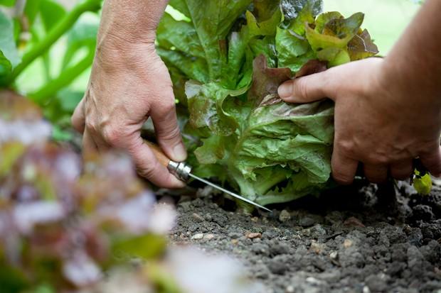 วิธีการปลูกผักกาดหอม - การเก็บเกี่ยวผักกาดหอม