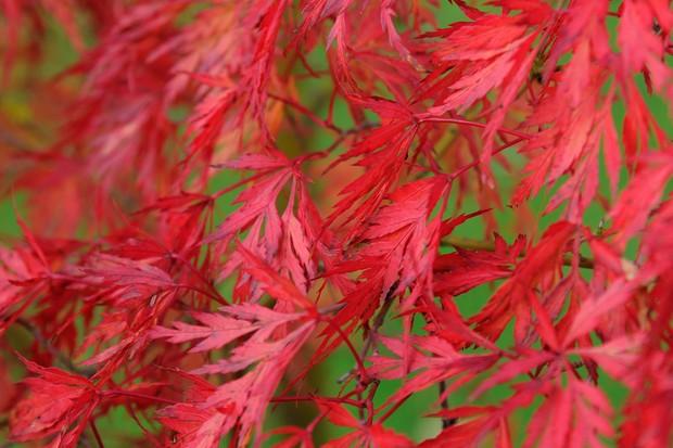 Bright-red, deeply-serrated leaves of acer 'Dissectum Atropurpureum'