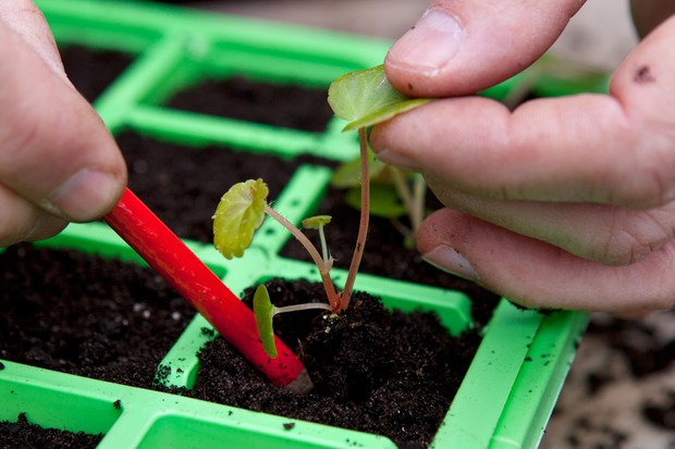 Planting begonia seedlings - planting the seedlings into a seed tray