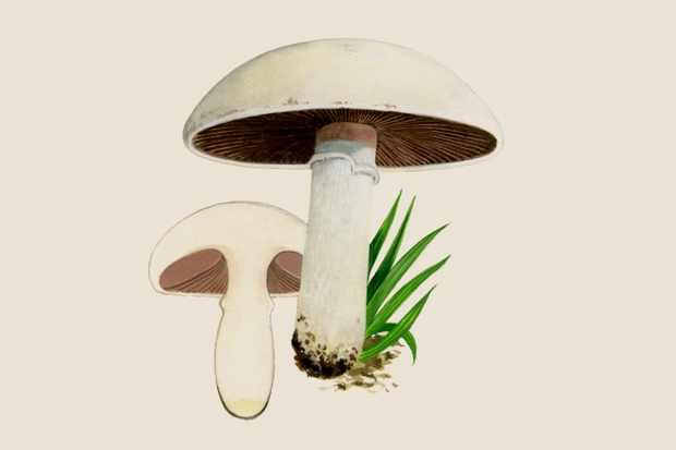agaricus-campestris-3