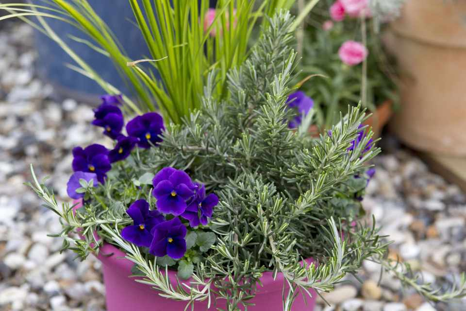 Rosemary and pansy pot display