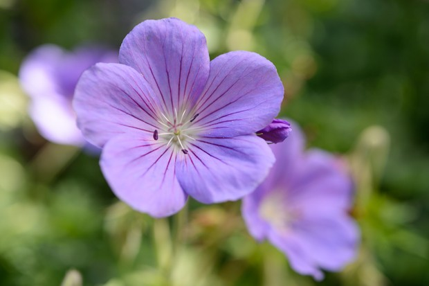 geranium-orion-2