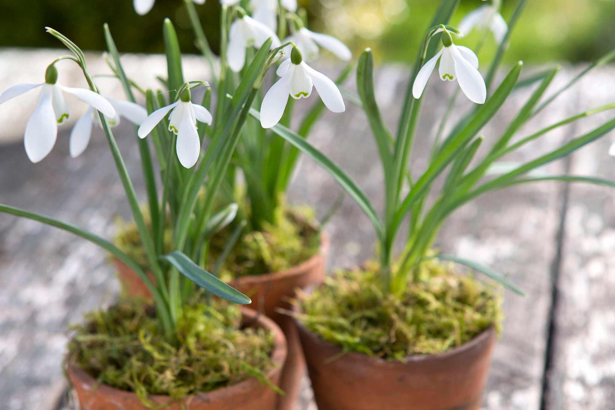 Snowdrops in pots