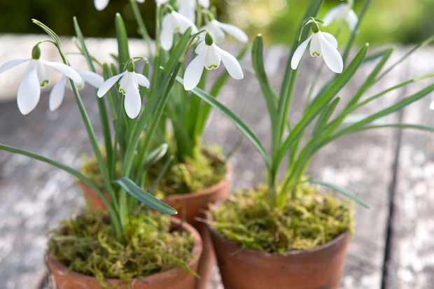 How to create a mossy snowdrop pot
