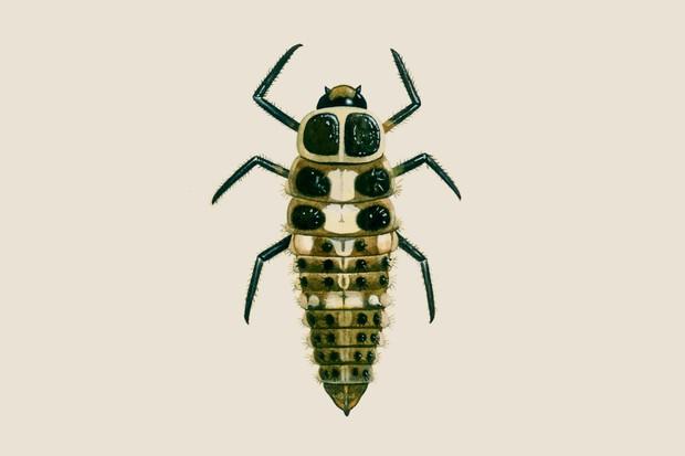 14-spot-ladybird-larvae-2