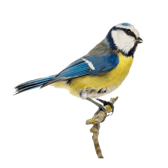 Blue tit. Photo: Getty Images.