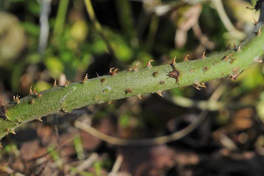 How do I get rid of brambles?