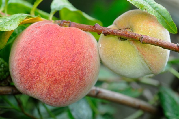 picking-a-ripe-peach-2