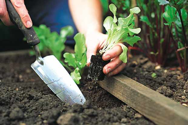 How to plant out lettuce