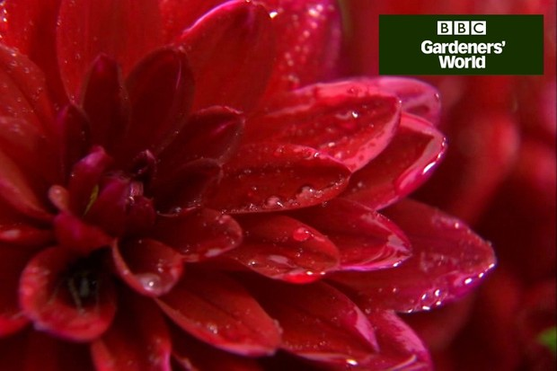 How to make a dahlia container display