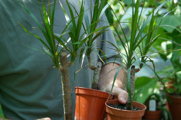 Potted up dracaena cuttings