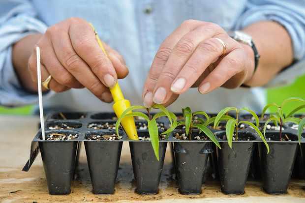 Lemon verbena herb cuttings