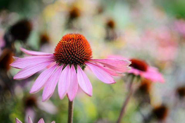 echinacea-purpurea-magnus-4