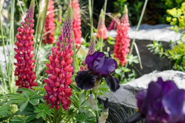 Red lupins