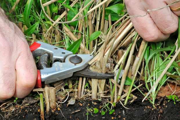cutting-back-a-deciduous-grass-3