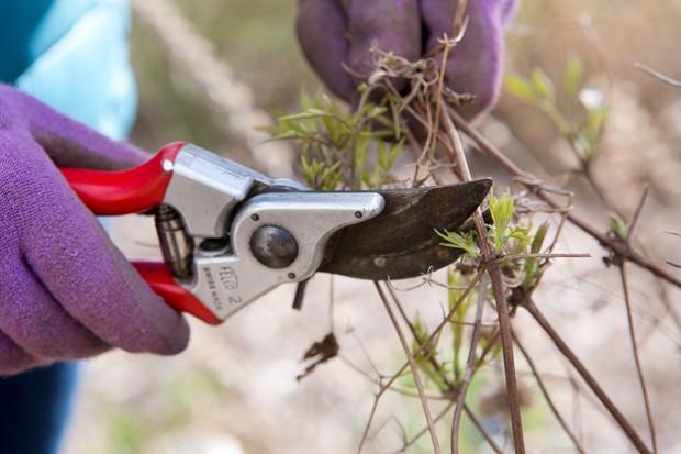 pruning-clematis-tangutica-group-3-2
