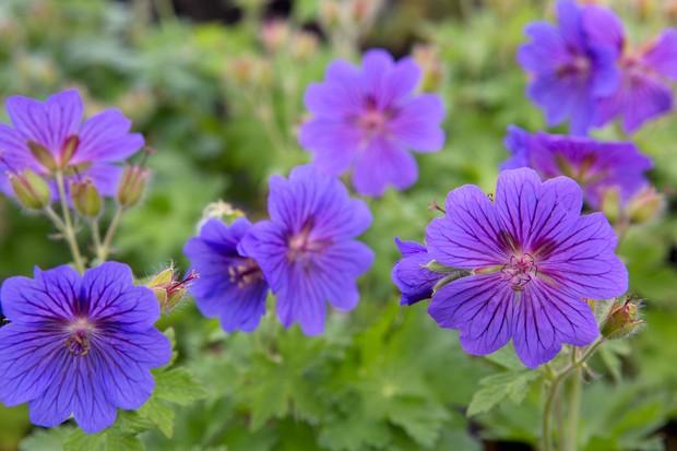 Geranium 'Rosemoor'
