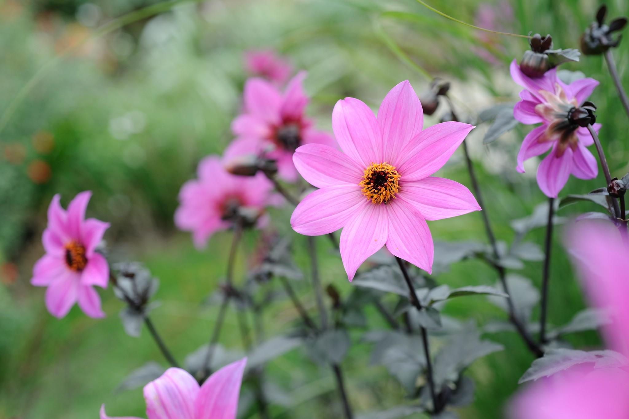 PInk-flowered dahlias - Dahlia 'Magenta Star'
