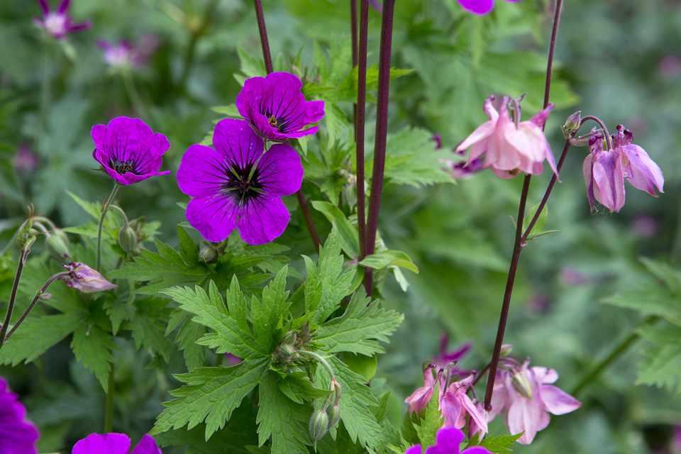 Purple hardy geranium flowers