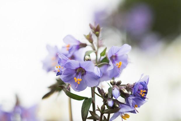 Purple flowering Jacob's Ladder 'Purple Rain'