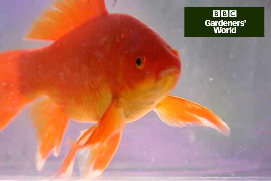 How to introduce fish to garden ponds