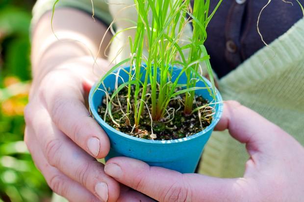 Eragrotis grass seedlings