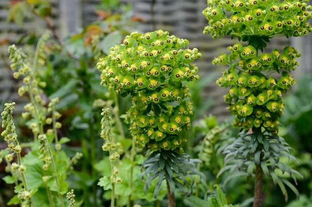 euphorbia-characias-subsp-wulfennii-9