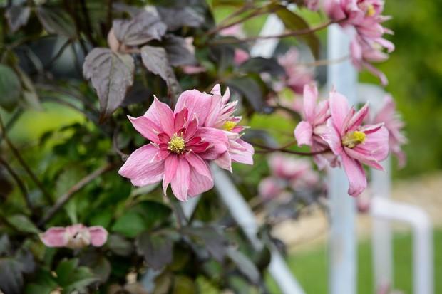 clematis-montana-var-rubens-marjorie-3