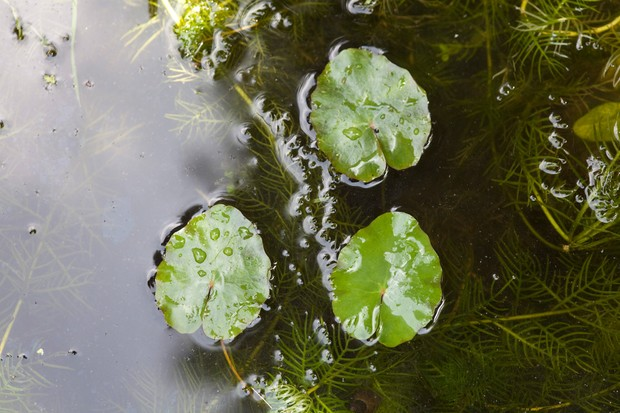 Wavy-edged, small floating leaves of the fringed water lily